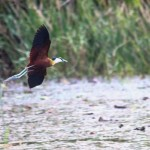 oiseau Jacana, RD Congo, Bombo Lumene